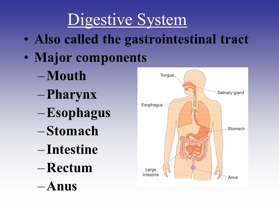 Digestive System Also called the gastrointestinal tract