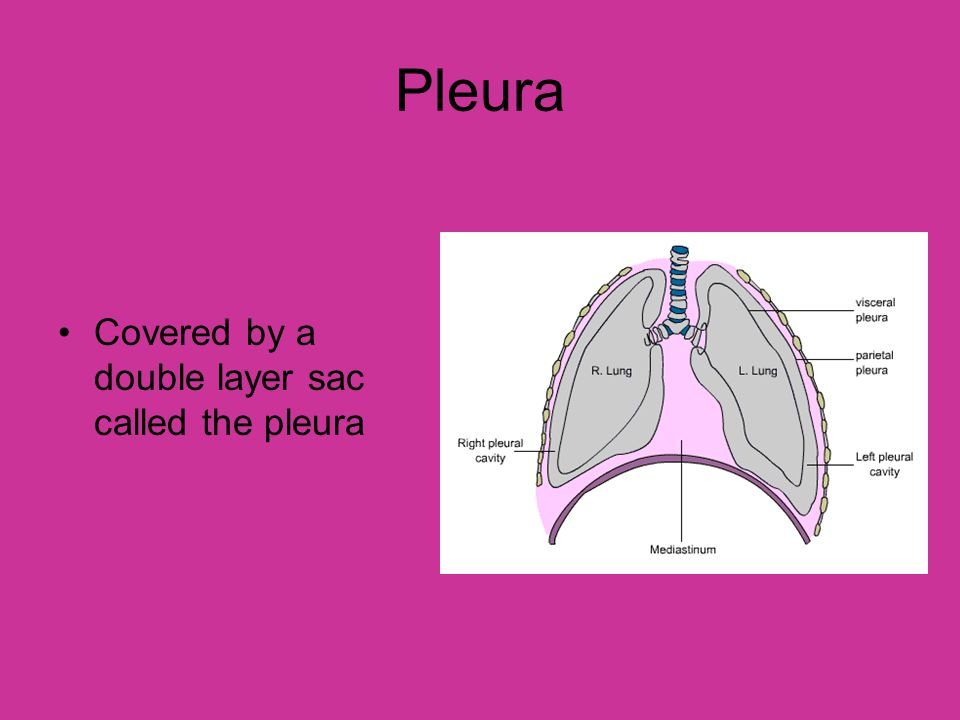 Pleura Covered by a double layer sac called the pleura
