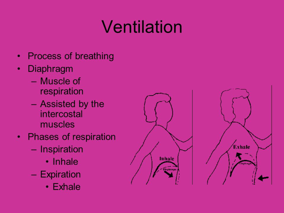 Ventilation Process of breathing Diaphragm Muscle of respiration