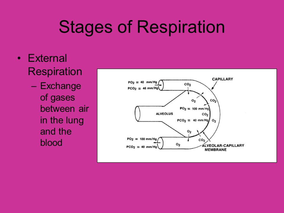 Stages of Respiration External Respiration