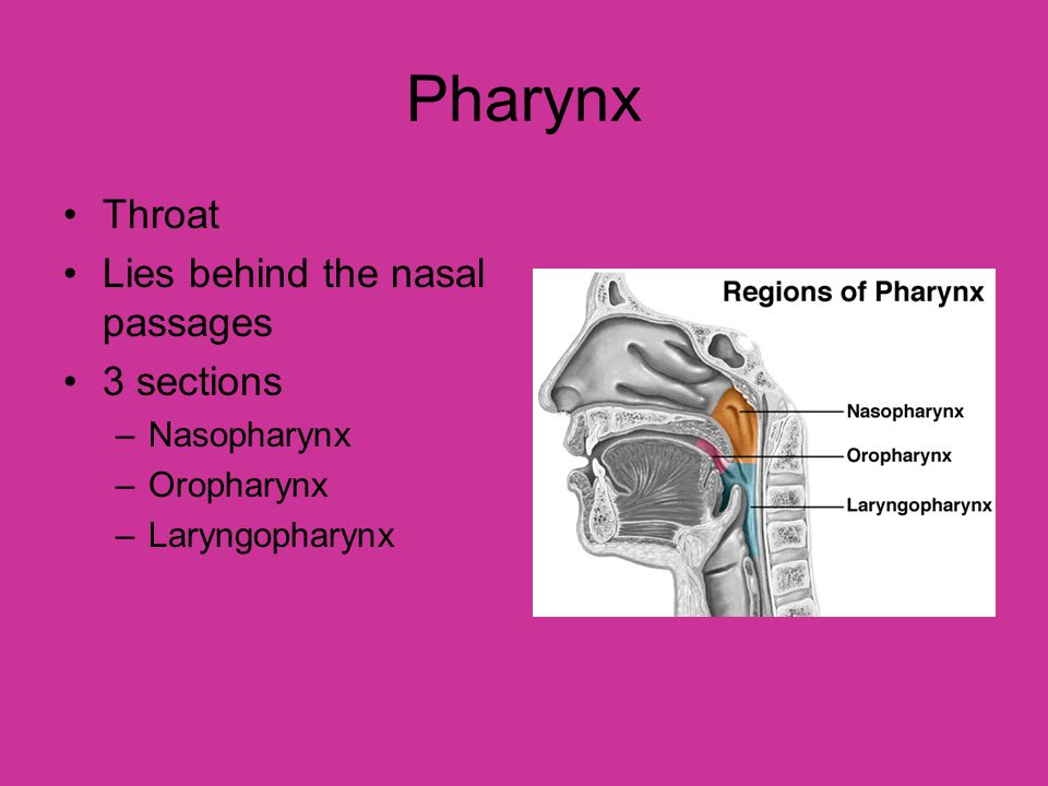 Pharynx Throat Lies behind the nasal passages 3 sections Nasopharynx