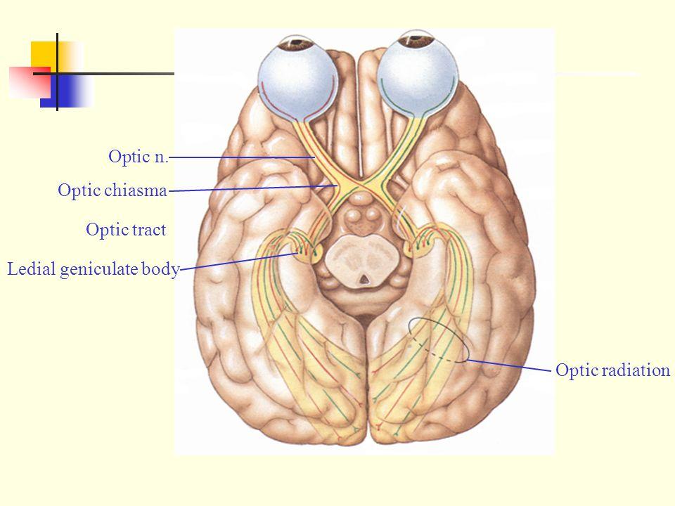Optic n. Optic chiasma Optic tract Ledial geniculate body Optic radiation