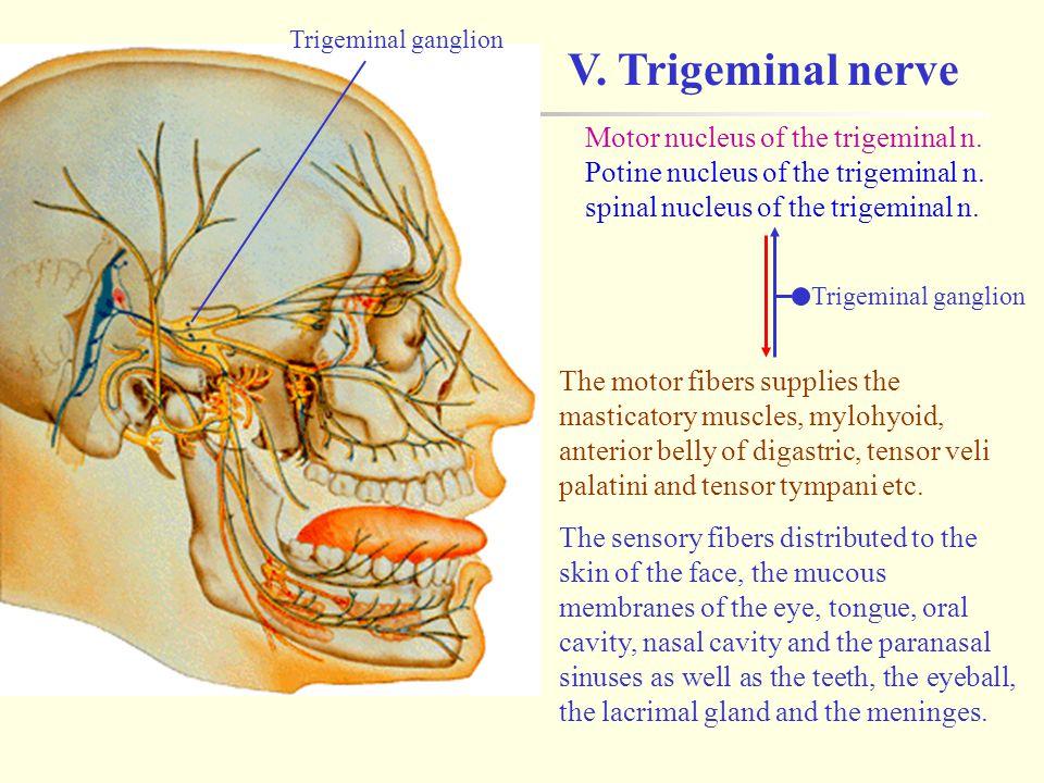 V. Trigeminal nerve Motor nucleus of the trigeminal n.
