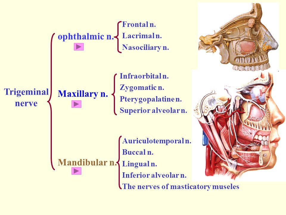 ophthalmic n. Maxillary n. Trigeminal nerve Mandibular n. Frontal n.