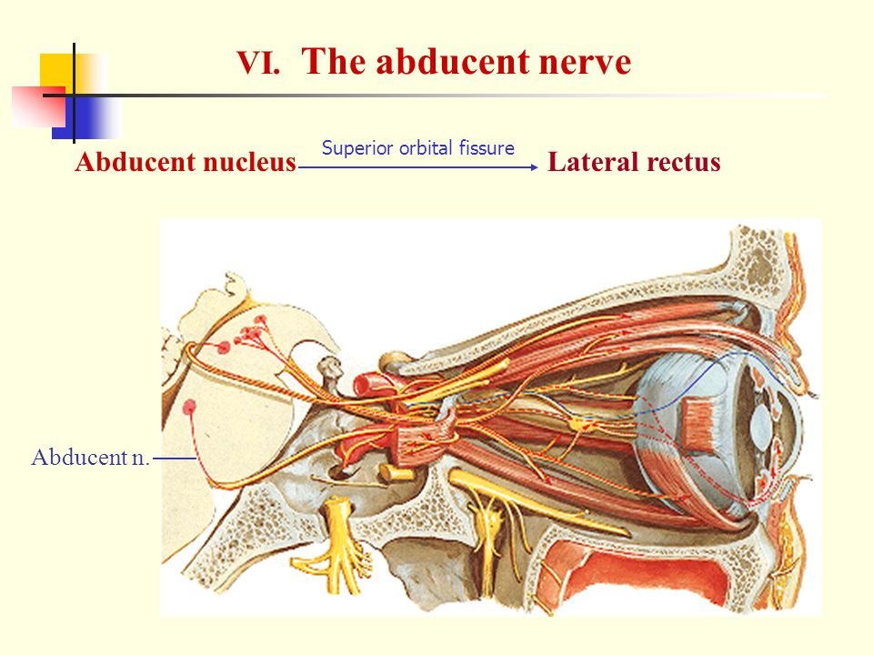 VI. The abducent nerve Abducent nucleus Lateral rectus Abducent n.