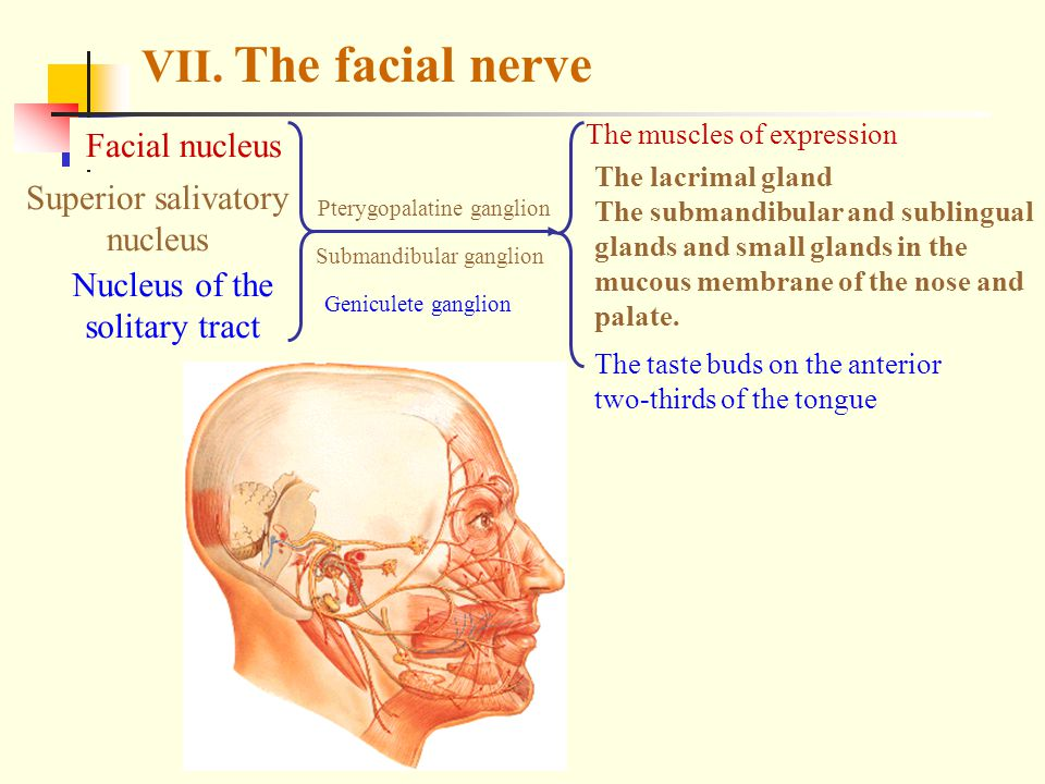 VII. The facial nerve Facial nucleus Superior salivatory nucleus