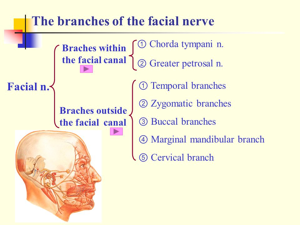 The branches of the facial nerve