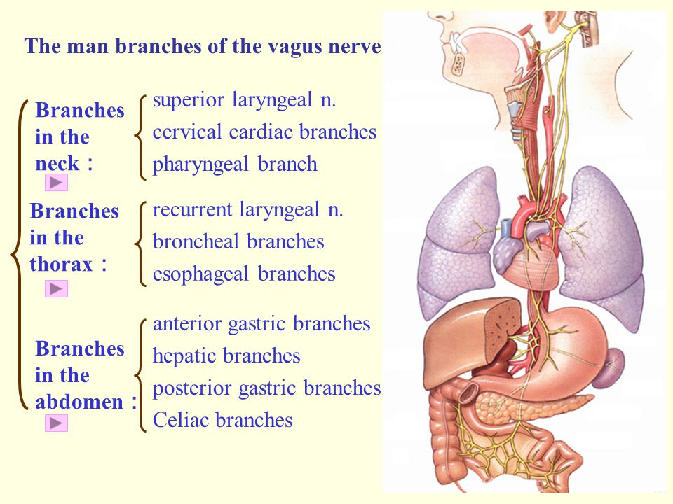 The man branches of the vagus nerve