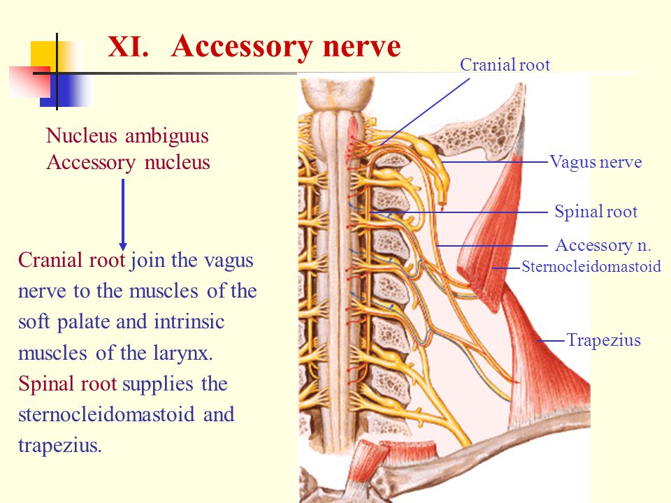 XI. Accessory nerve Nucleus ambiguus Accessory nucleus