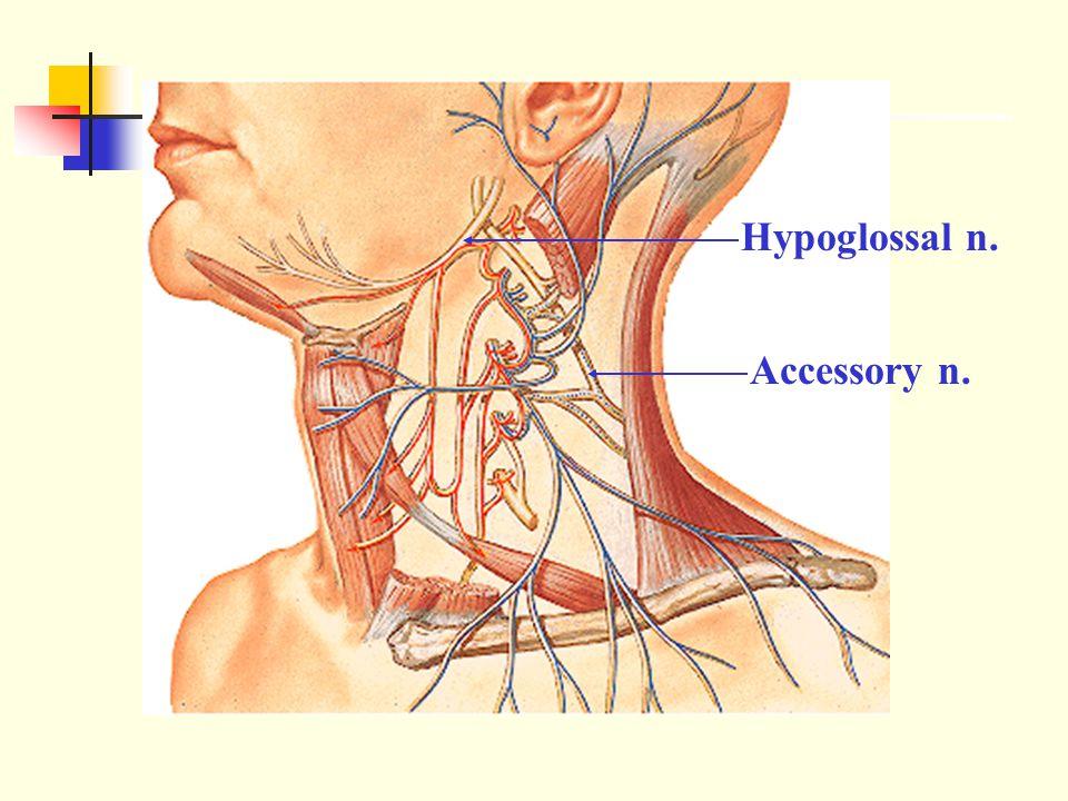 Hypoglossal n. Accessory n.