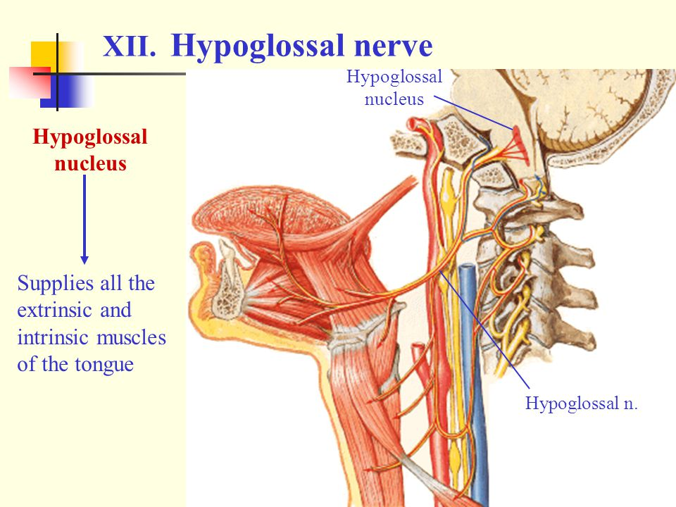 XII. Hypoglossal nerve Hypoglossal nucleus