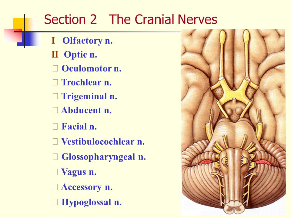 Section 2 The Cranial Nerves