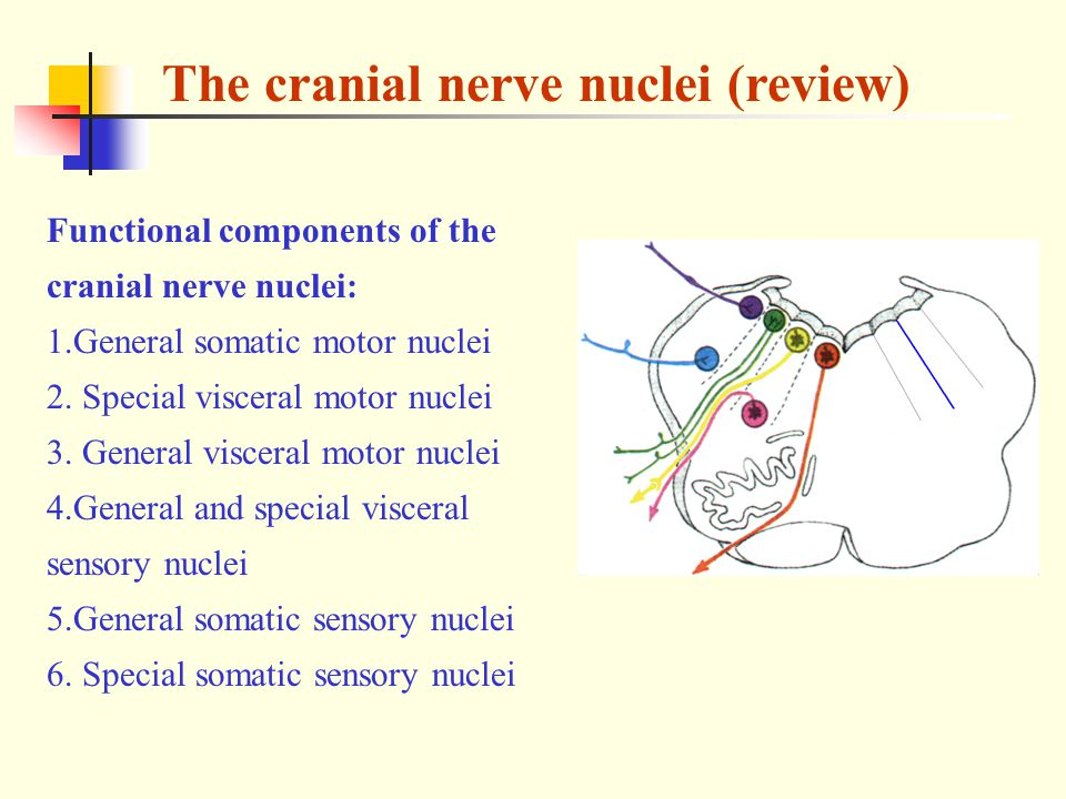 The cranial nerve nuclei (review)