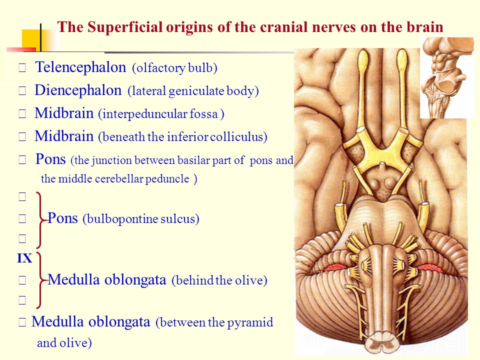 The Superficial origins of the cranial nerves on the brain