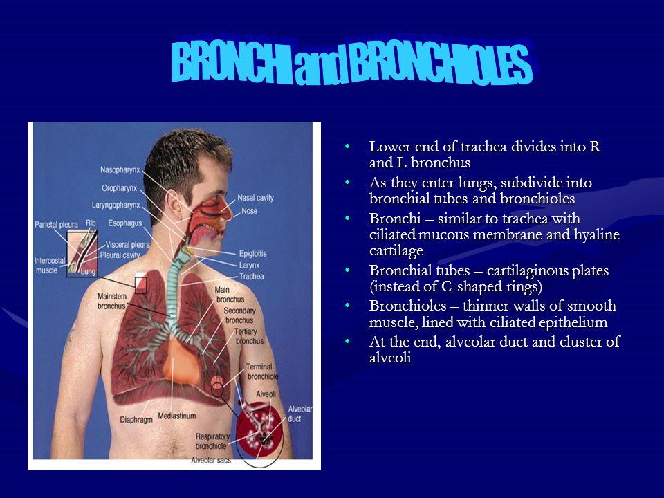 BRONCHI and BRONCHIOLES