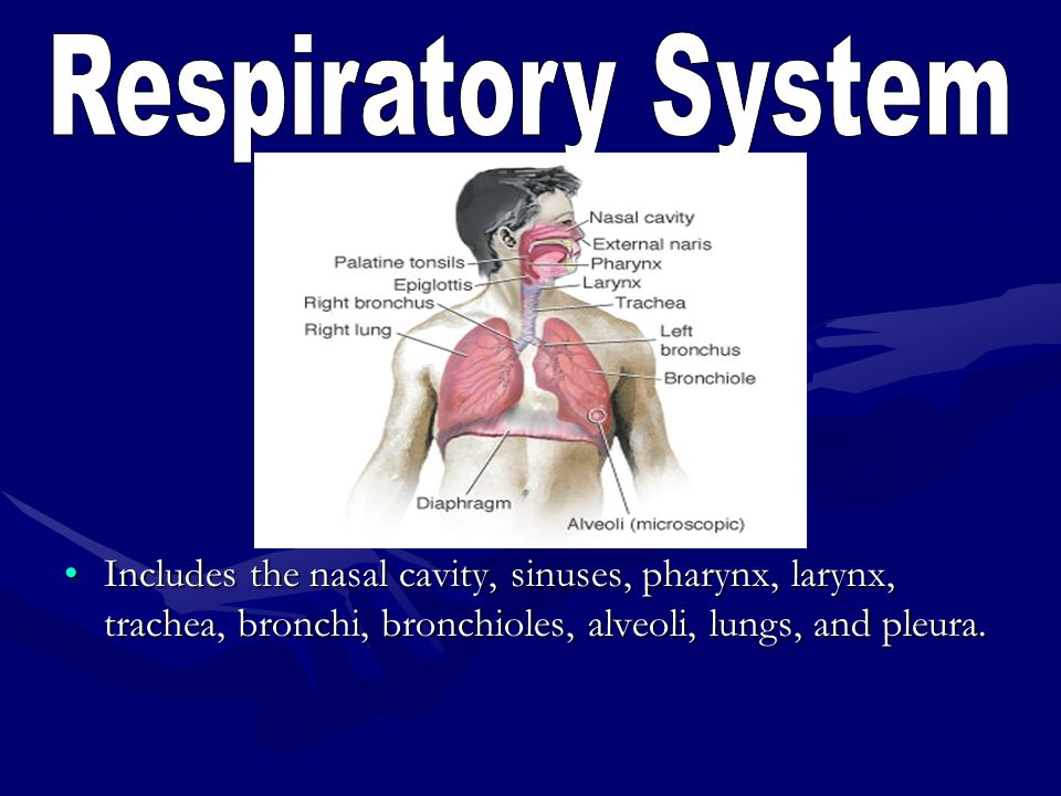 Respiratory System Includes the nasal cavity, sinuses, pharynx, larynx, trachea, bronchi, bronchioles, alveoli, lungs, and pleura.