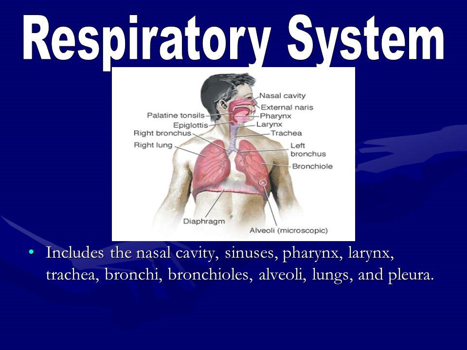 Respiratory System Includes the nasal cavity, sinuses, pharynx, larynx, trachea, bronchi, bronchioles, alveoli, lungs, and pleura.