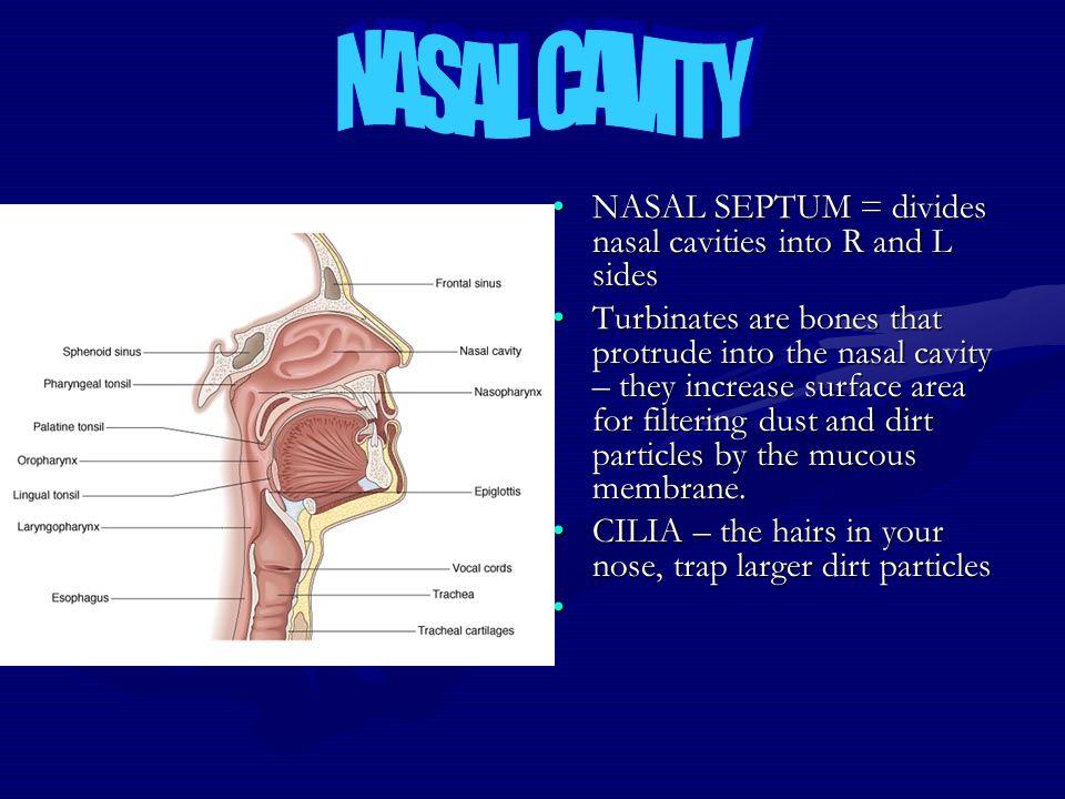 NASAL CAVITY NASAL SEPTUM = divides nasal cavities into R and L sides