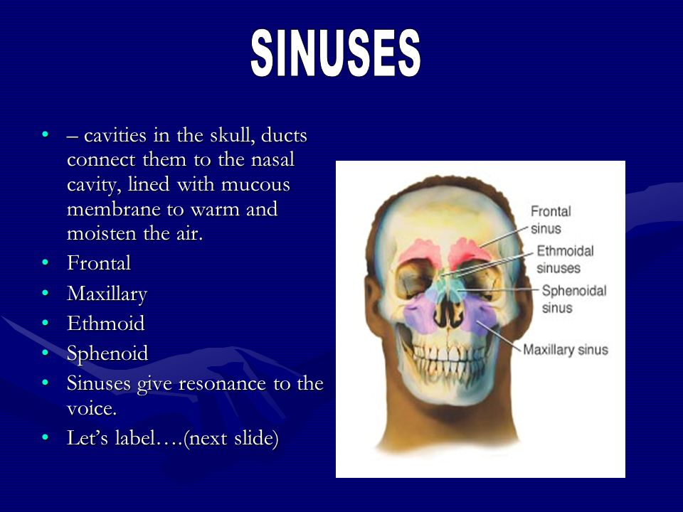 SINUSES – cavities in the skull, ducts connect them to the nasal cavity, lined with mucous membrane to warm and moisten the air.