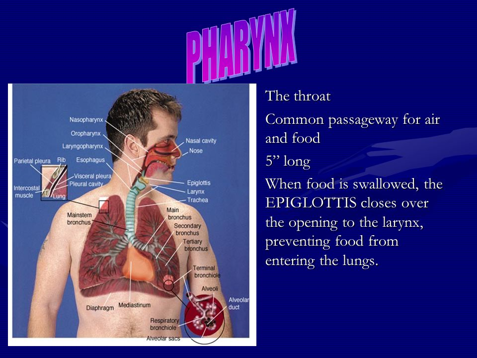 PHARYNX The throat Common passageway for air and food 5 long