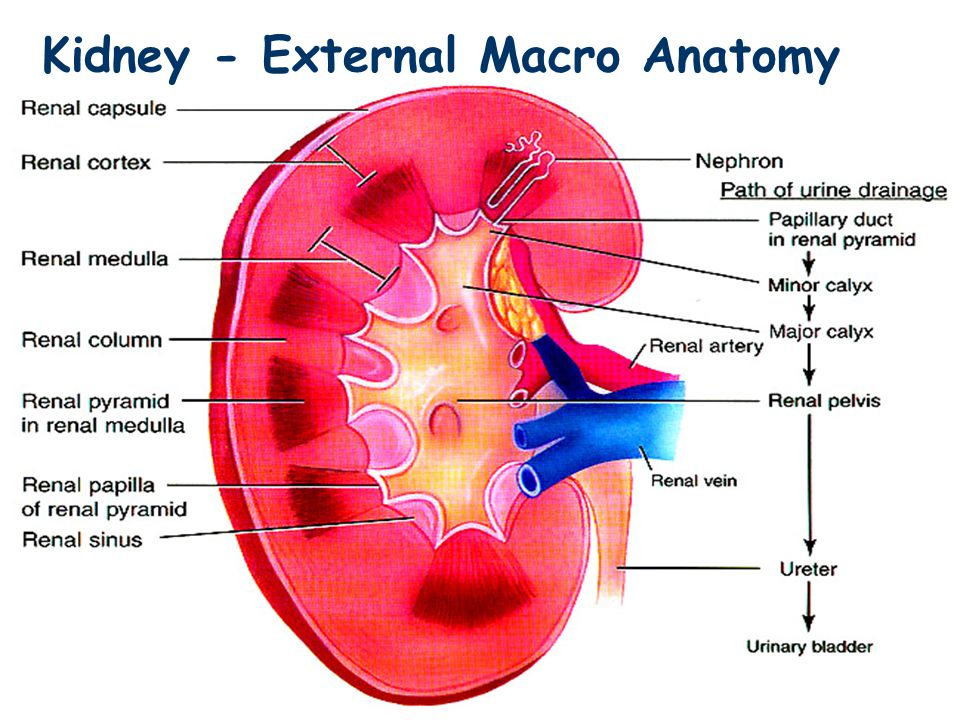 Kidney external macro anatomy ppt video online download ccuart