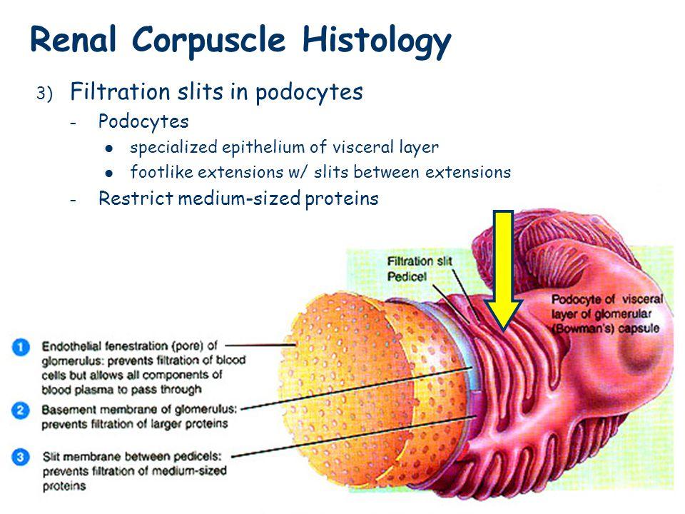 Renal Corpuscle Histology