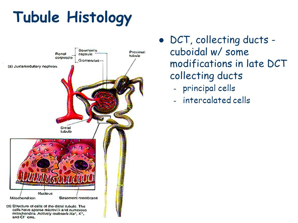 Tubule Histology DCT, collecting ducts - cuboidal w/ some modifications in late DCT collecting ducts.