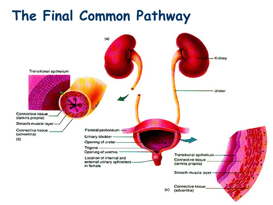 The Final Common Pathway
