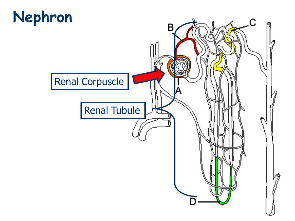 Nephron Renal Tubule Renal Corpuscle