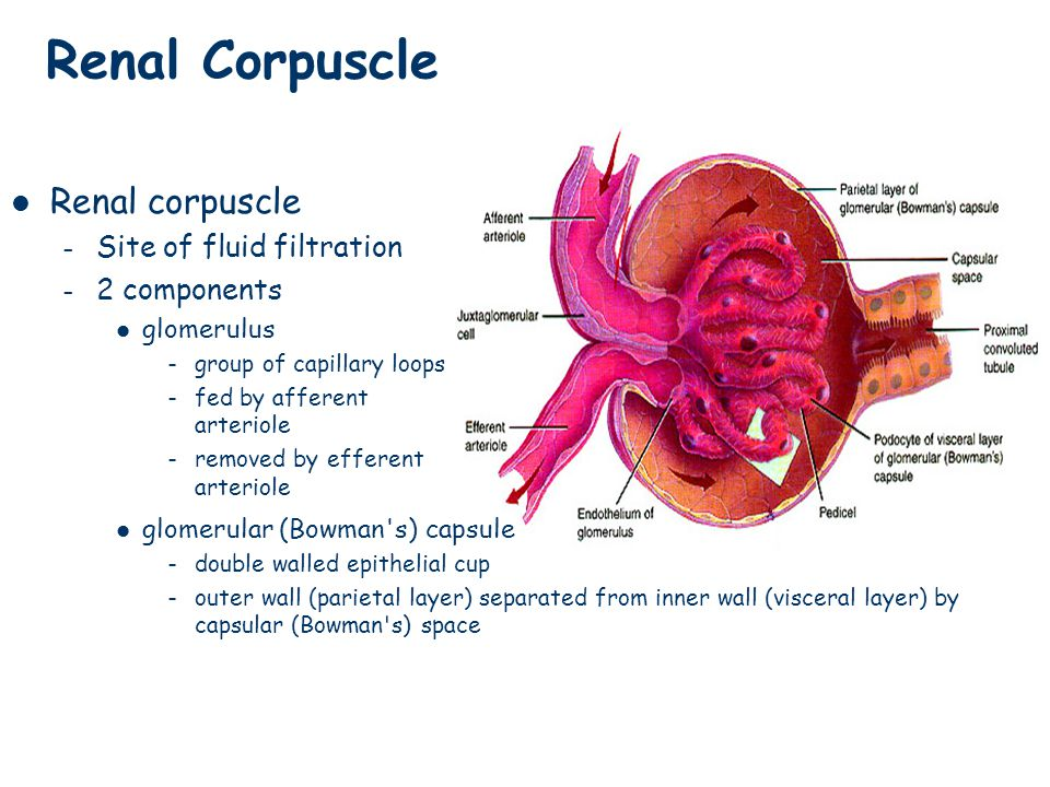 Renal Corpuscle Renal corpuscle Site of fluid filtration 2 components