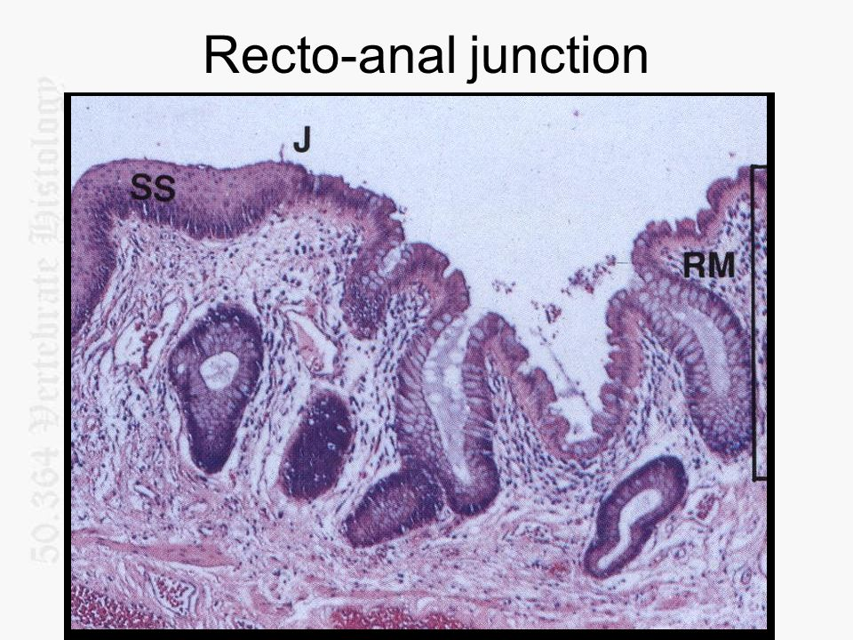 Recto-anal junction
