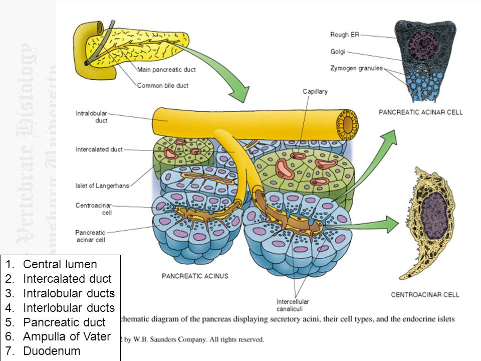 Central lumen Intercalated duct. Intralobular ducts. Interlobular ducts. Pancreatic duct. Ampulla of Vater.