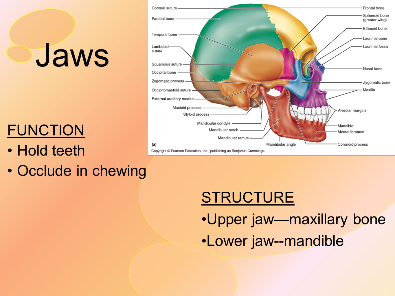 Jaws FUNCTION Hold teeth Occlude in chewing STRUCTURE