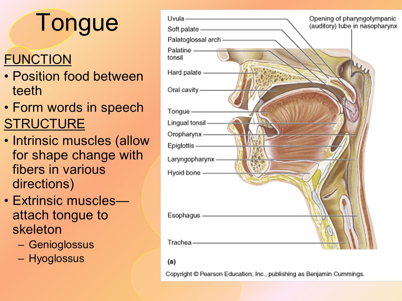 Tongue FUNCTION Position food between teeth Form words in speech