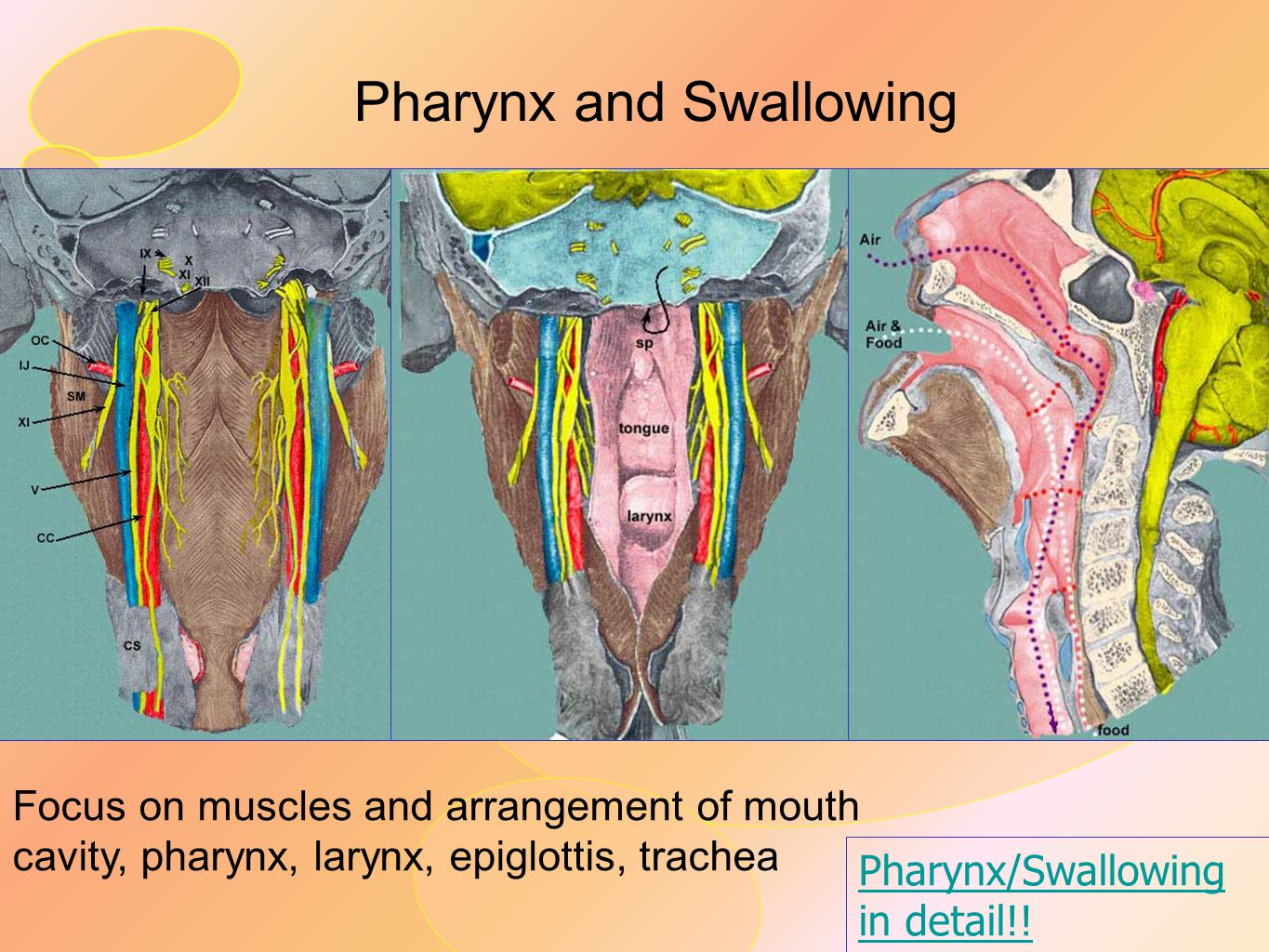 Pharynx and Swallowing
