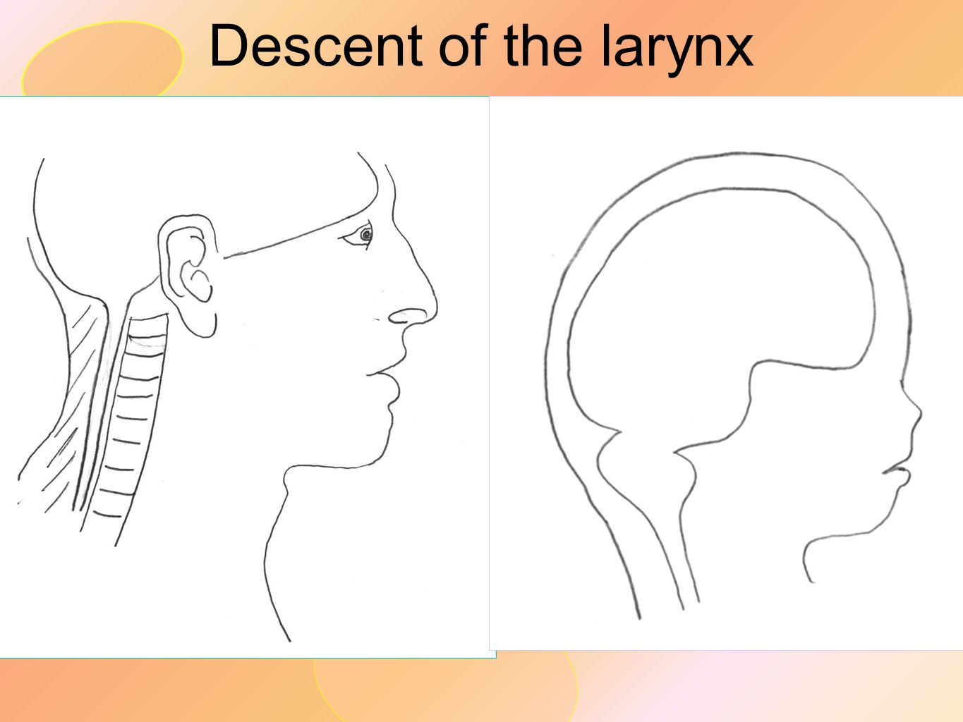 Descent of the larynx