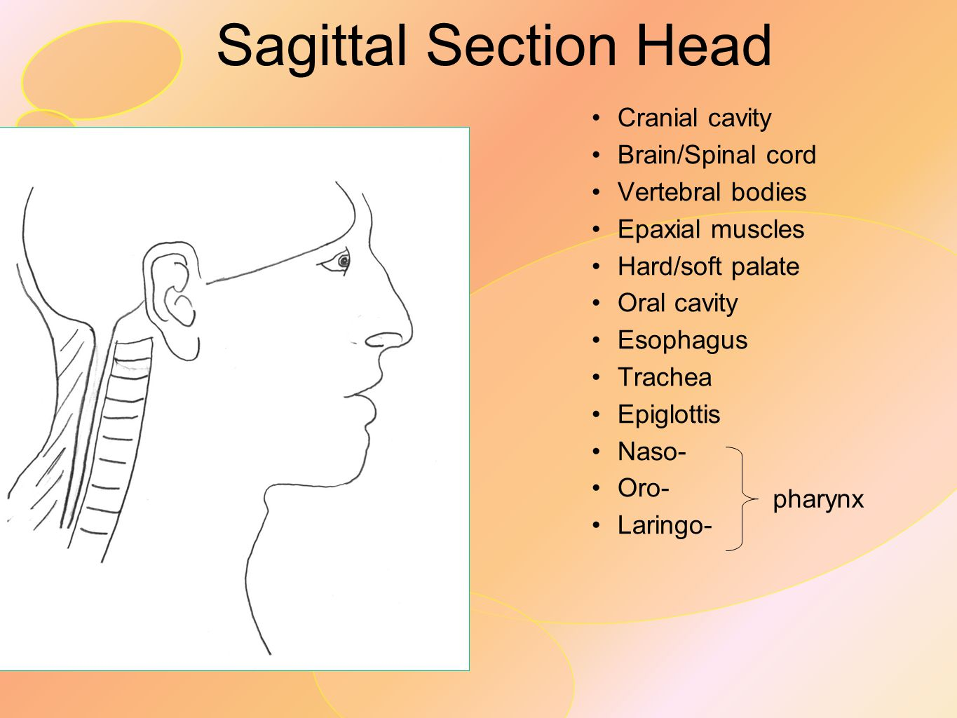 Sagittal Section Head Cranial cavity Brain/Spinal cord