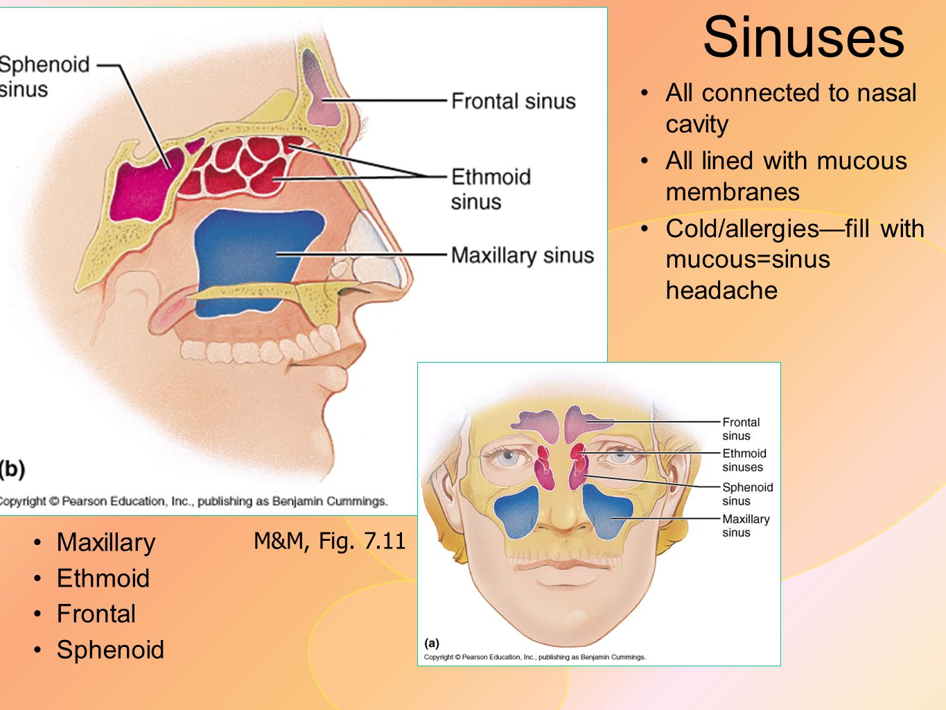 Sinuses All connected to nasal cavity All lined with mucous membranes