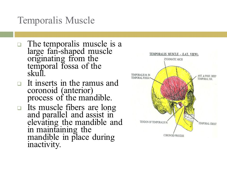 Temporalis Muscle The temporalis muscle is a large fan-shaped muscle originating from the temporal fossa of the skull.
