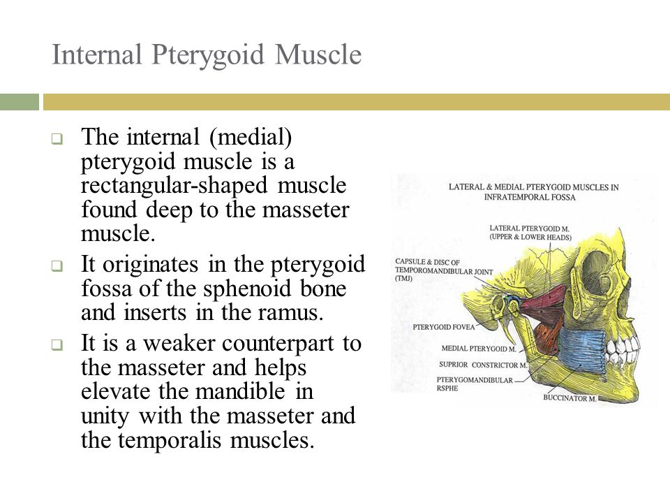 Internal Pterygoid Muscle