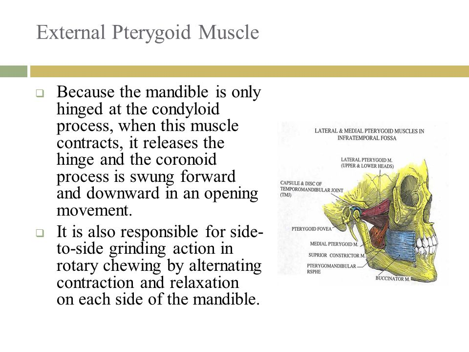 External Pterygoid Muscle
