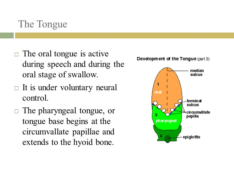 The Tongue The oral tongue is active during speech and during the oral stage of swallow. It is under voluntary neural control.