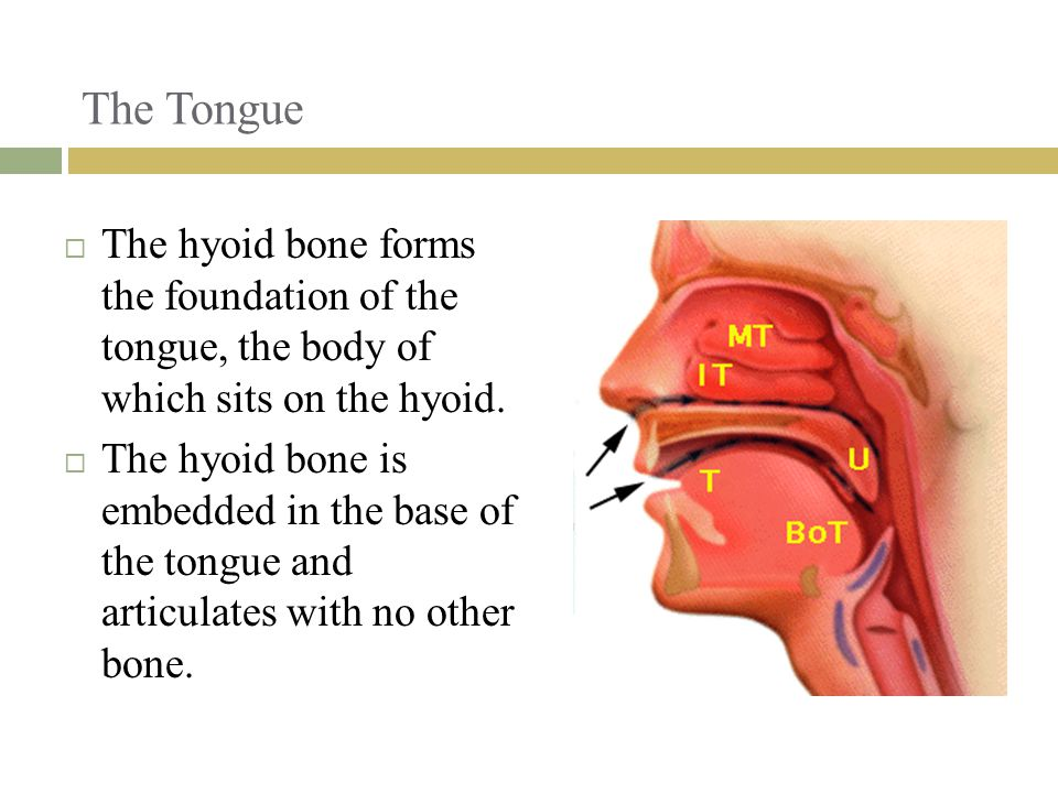 The Tongue The hyoid bone forms the foundation of the tongue, the body of which sits on the hyoid.