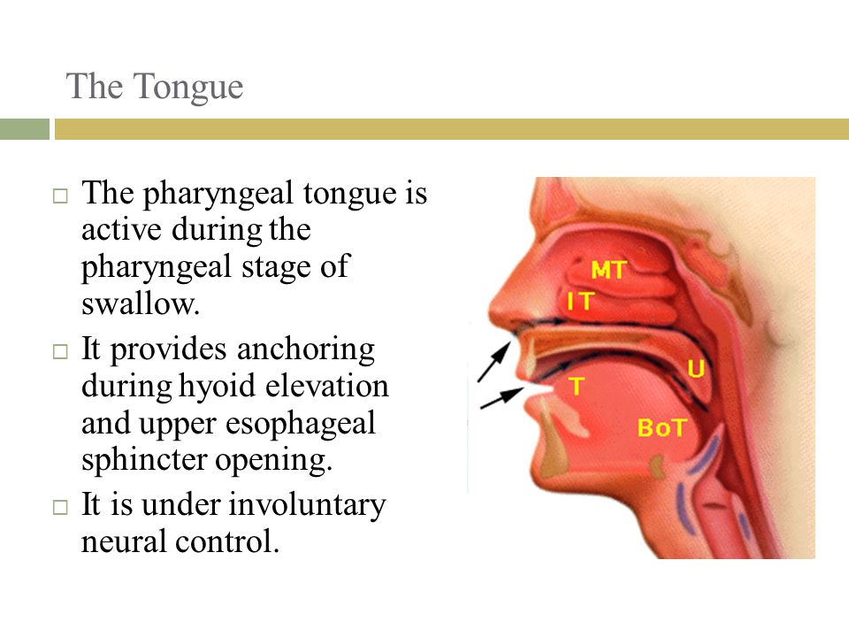 The Tongue The pharyngeal tongue is active during the pharyngeal stage of swallow.