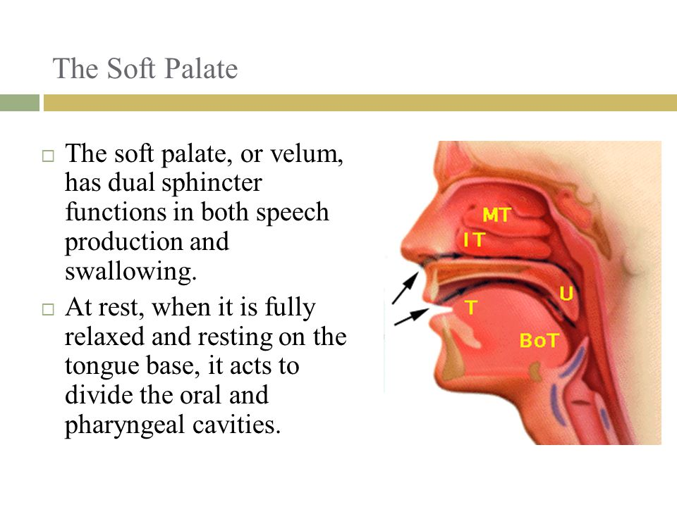 The Soft Palate The soft palate, or velum, has dual sphincter functions in both speech production and swallowing.