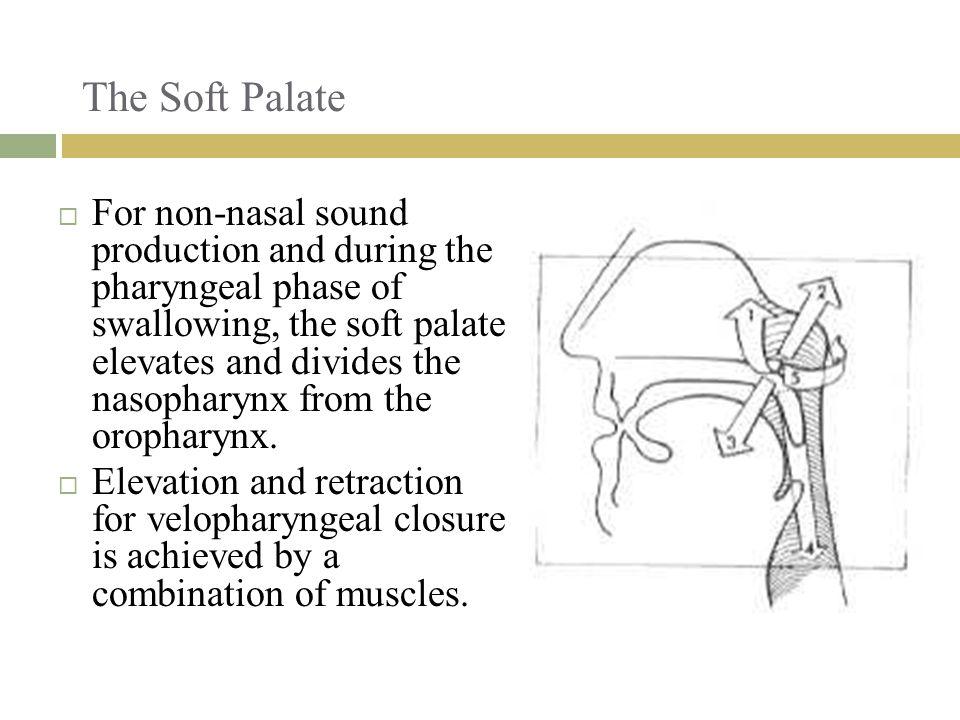 The Soft Palate