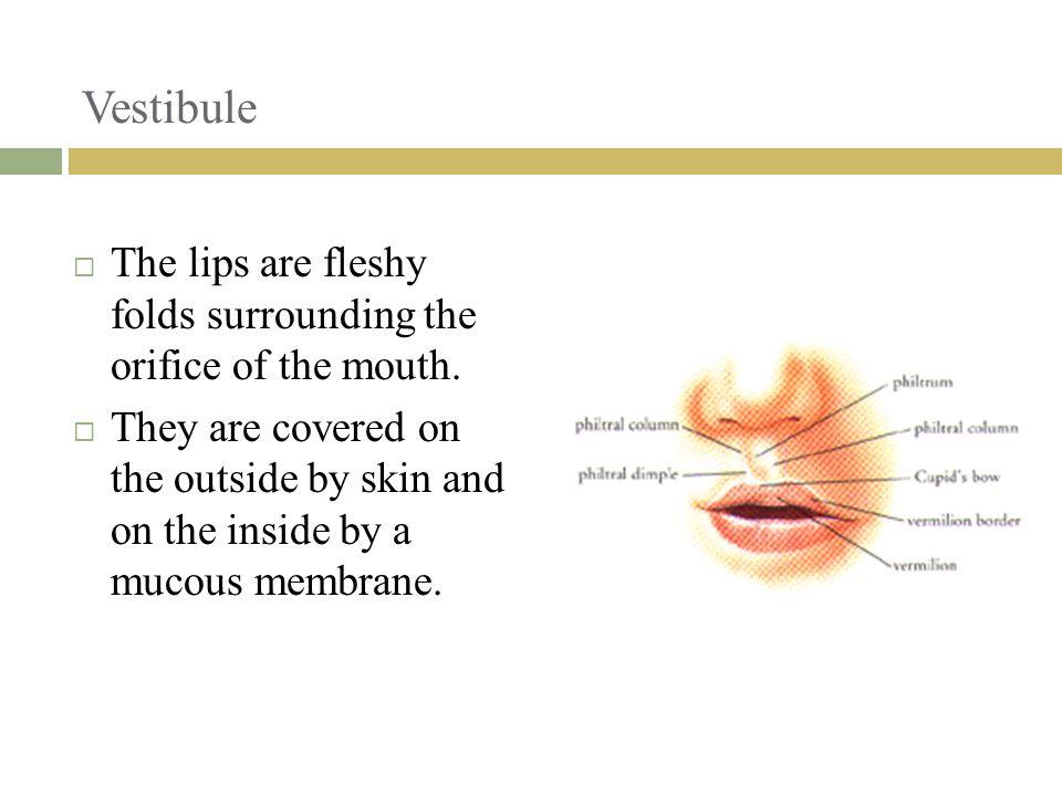 Vestibule The lips are fleshy folds surrounding the orifice of the mouth.
