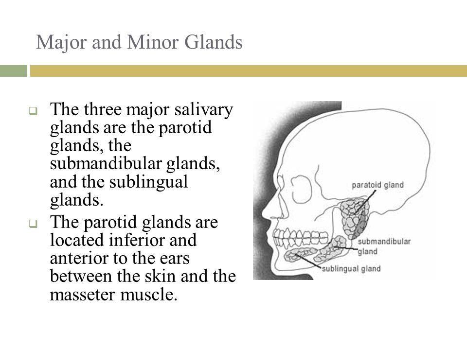 Major and Minor Glands The three major salivary glands are the parotid glands, the submandibular glands, and the sublingual glands.