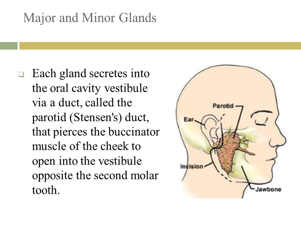 Major and Minor Glands