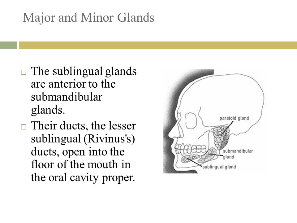 Major and Minor Glands The sublingual glands are anterior to the submandibular glands.